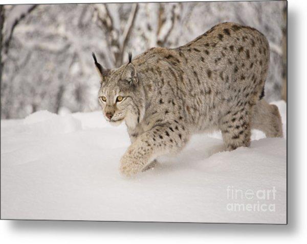 Hunting Lynx Metal Print