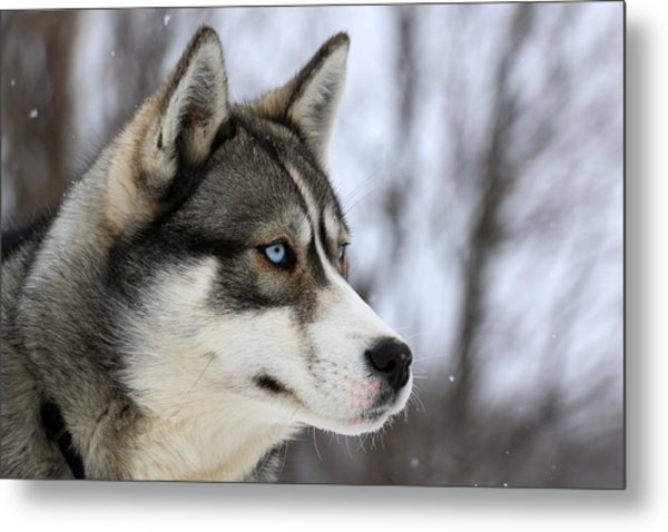 Husky Looking Away, Quebec, Canada Metal Print by Jonathan