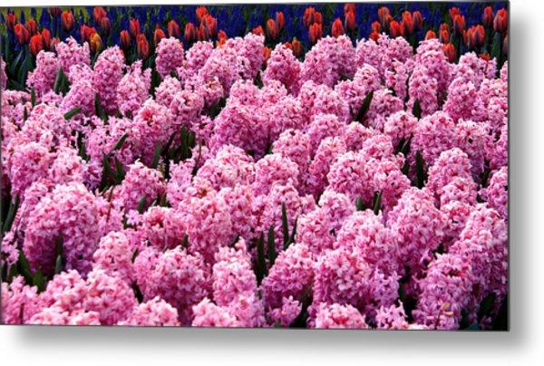 Hyacinth's In Amsterdam Metal Print