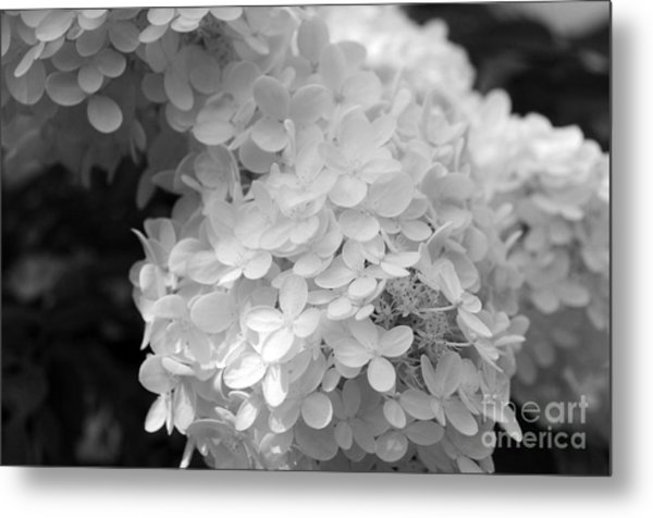 Hydrangea Bright And White Metal Print