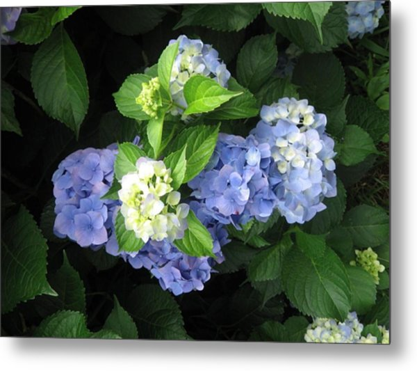 Metal Print featuring the photograph Hydrangea by Deb Martin-Webster