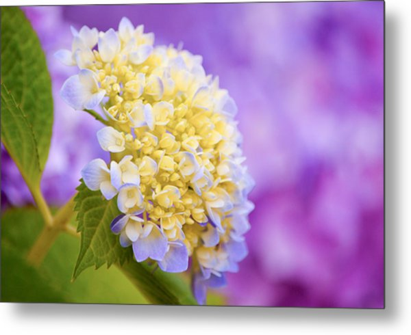 Hydrangea On Purple Metal Print