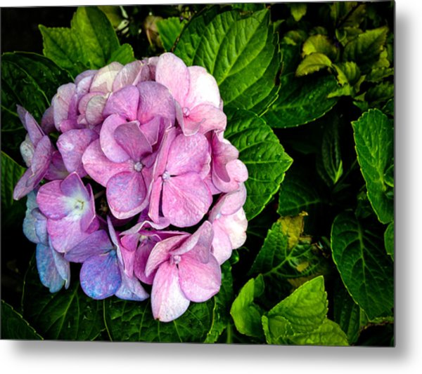 Hydrangea Singapore Flower Metal Print by Donald Chen