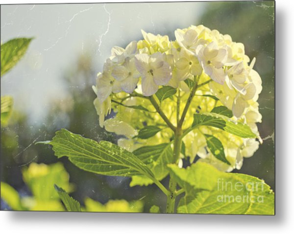 Hydrangea With Tattered Grey Vintage Texture Metal Print