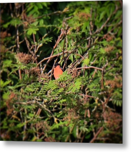 I Don't Often See Bullfinches In Our Metal Print