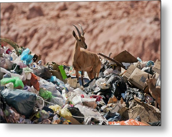 Ibex In City Dump Metal Print by Photostock-israel