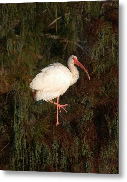 Ibis In The Cypress Metal Print by Jeff Wright