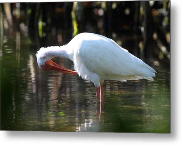 Metal Print featuring the photograph Ibis Preening by Daniel Reed