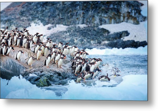 Ice Swimmers Metal Print by David Merron Photography