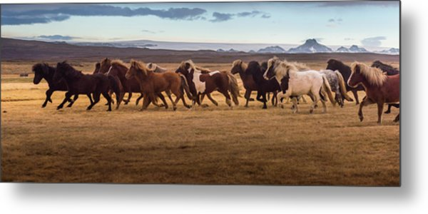 Icelandic Horses Galloping Over The Metal Print by Coolbiere Photograph