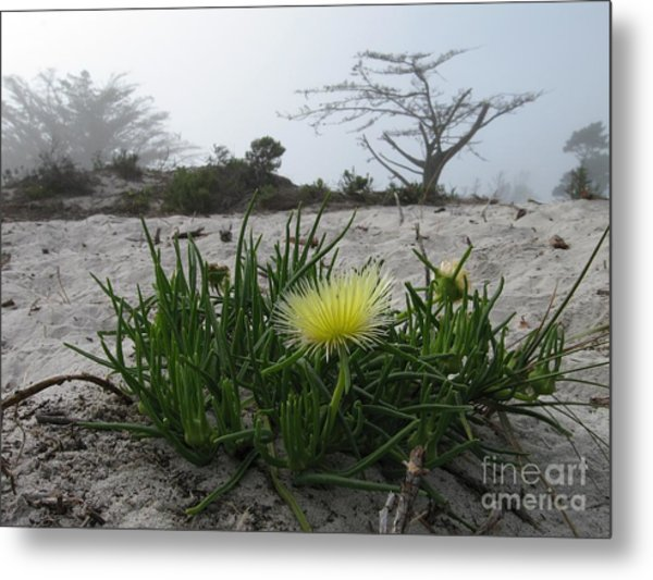 Iceplant Bloom On Carmel Dunes Metal Print