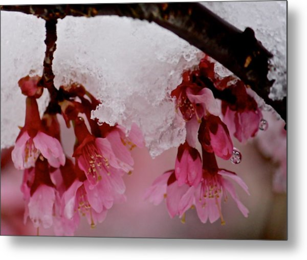 Icy Cherry Blossoms Metal Print