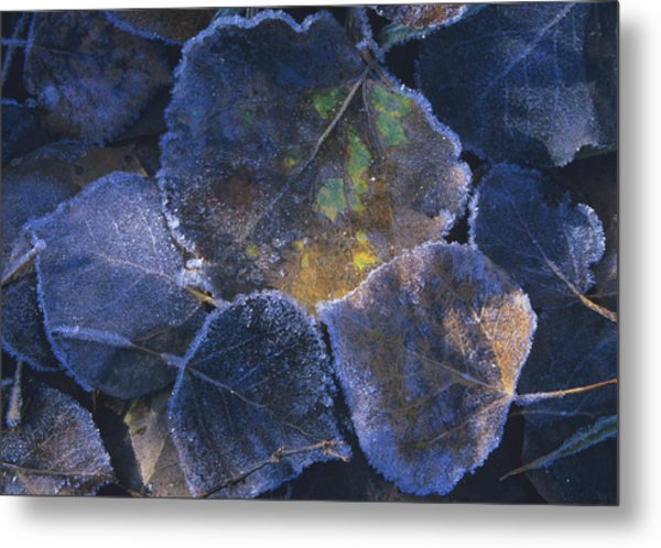 Icy Leaves Metal Print