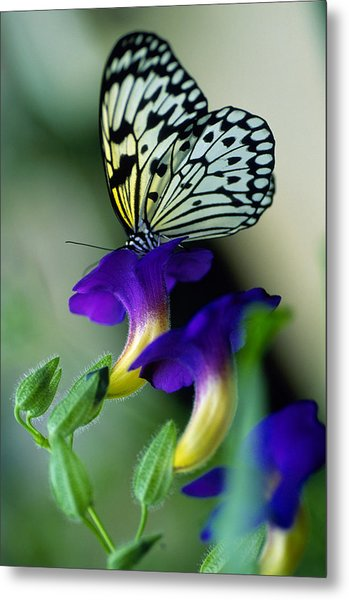 Idea Lecomoe Tree Nymph Butterfly On Metal Print by David Q. Cavagnaro