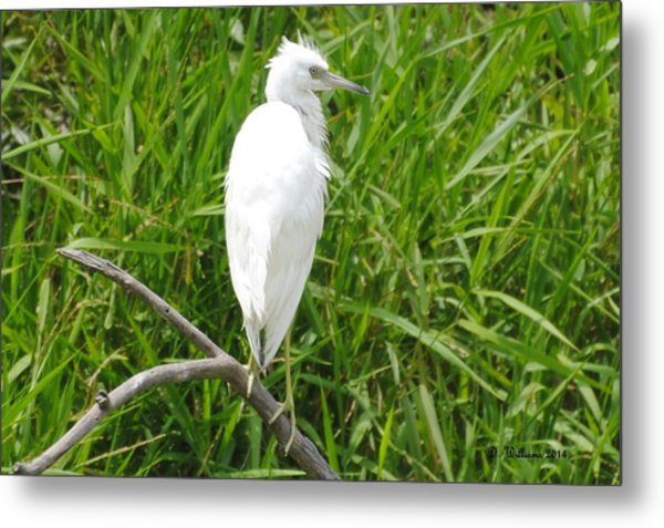 Immature Little Blue Heron On Watch Metal Print