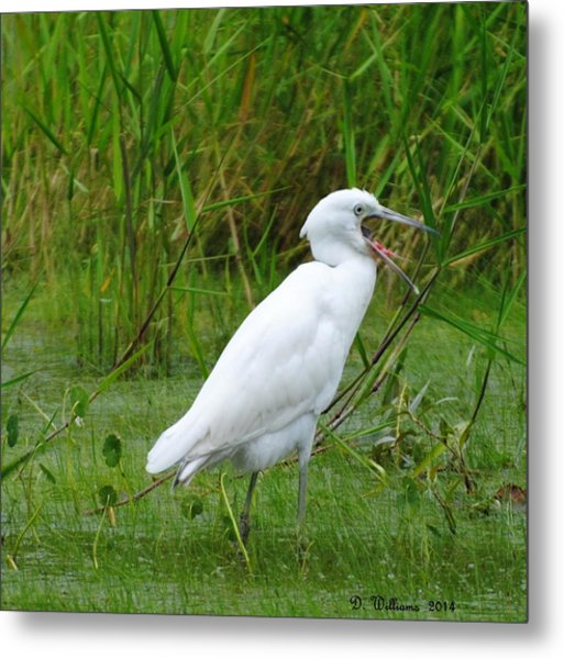 Immature Little Blue Heron Yawning Metal Print