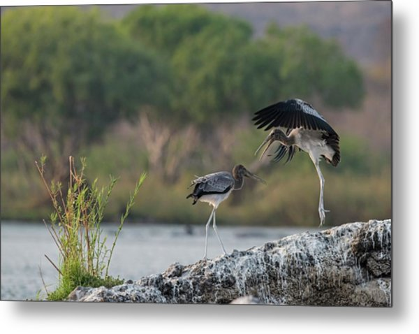 Immature Yellow-billed Storks At Play Metal Print by Tony Camacho/science Photo Library
