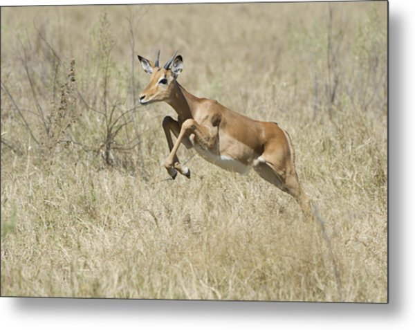 Impala Leaping Through Savanna Metal Print