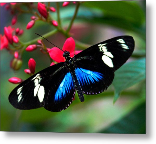 Imperfect Beauty In Black And Blue On Red Metal Print