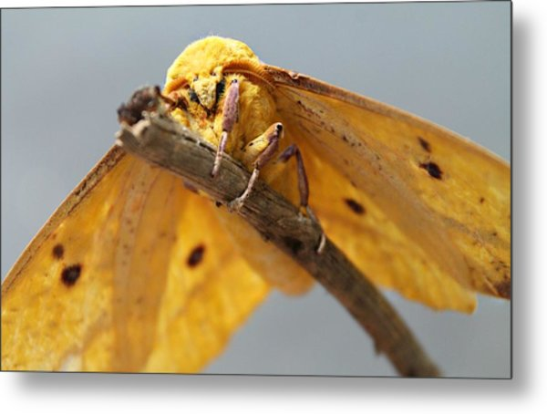 Imperial Moth Metal Print