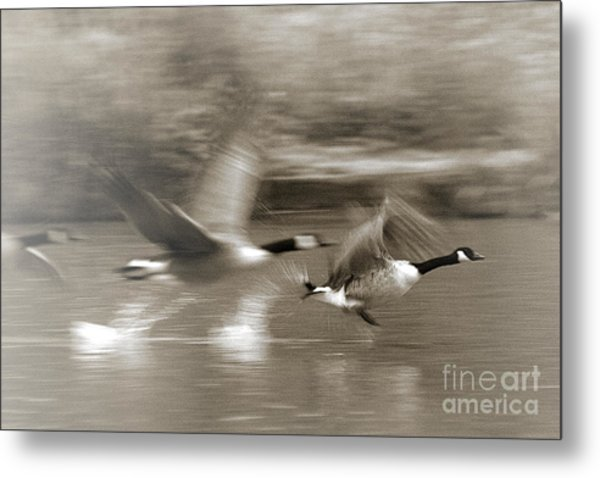 In A Blur Of Feathers Metal Print