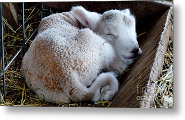 In A Manger Metal Print