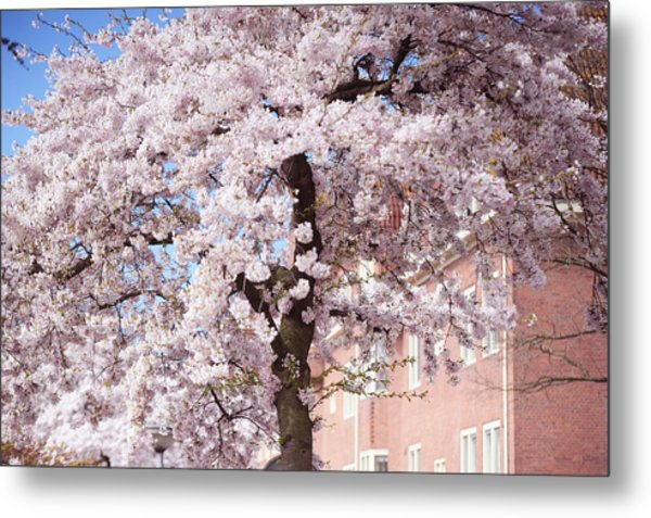 In Its Glory. Pink Spring In Amsterdam Metal Print