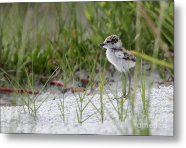 In The Grass - Wilson's Plover Chick Metal Print