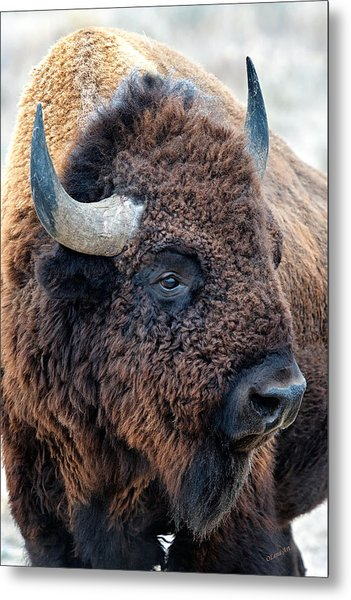 Olena Art Bison The Mighty Beast Bison Das Machtige Tier North American Wildlife  Metal Print