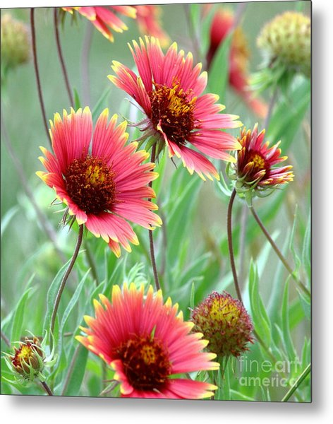 Indian Blanket Wildflowers Metal Print