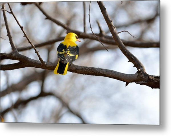 Indian Golden Oriole Metal Print