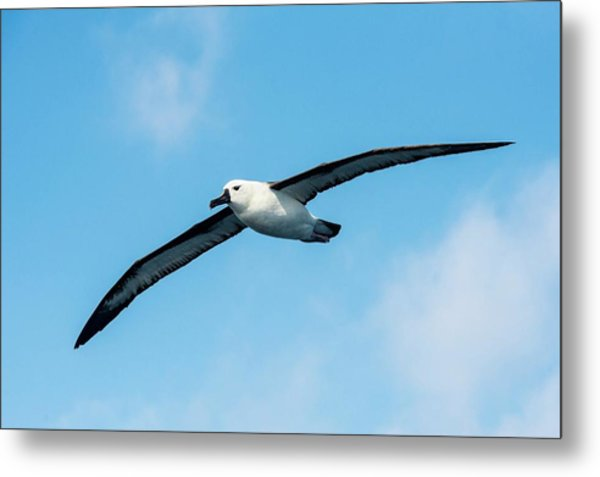 Indian Ocean Yellow-nosed Albatross Metal Print