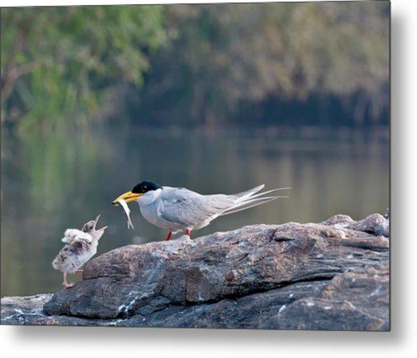 Indian River Tern Feeding Chick Metal Print