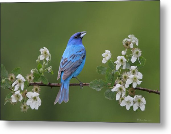 Indigo Bunting On Berry Blossoms Metal Print