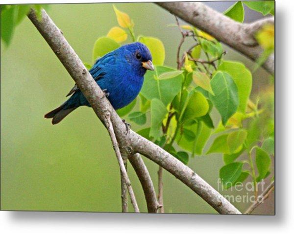 Blue Indigo Bunting Bird  Metal Print