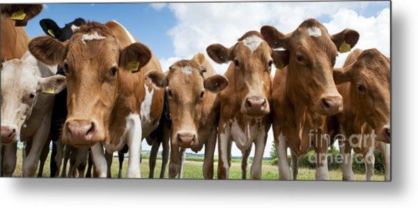 Inquisitive Cows Metal Print