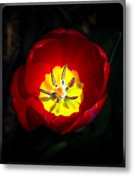 Inside A Tulip Metal Print