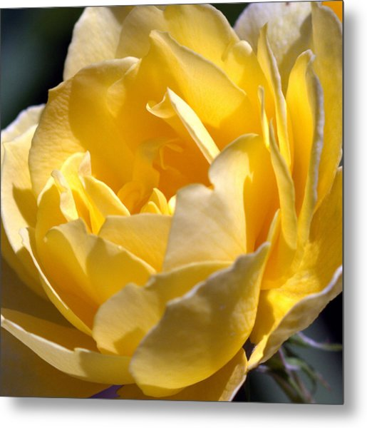 Inside The Yellow Rose Metal Print