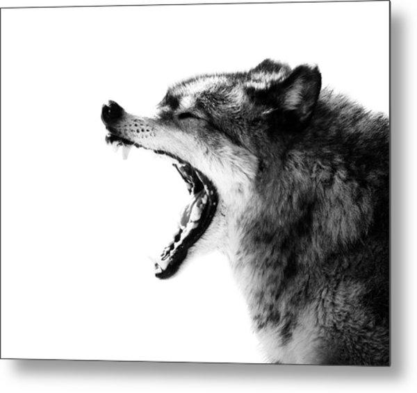 Intense Gray Wolf Portrait  Metal Print