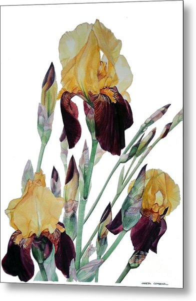 Watercolor Of Tall Bearded Iris In Yellow And Maroon I Call Iris Beethoven Metal Print