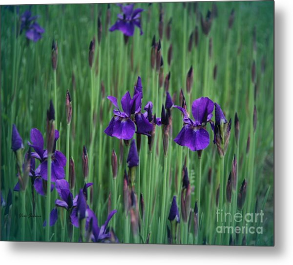 Iris Field Metal Print by Yumi Johnson