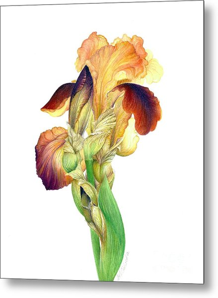 Iris Indian Chief / Sold Metal Print