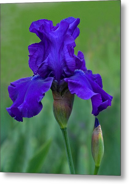 Iris Majesty Metal Print