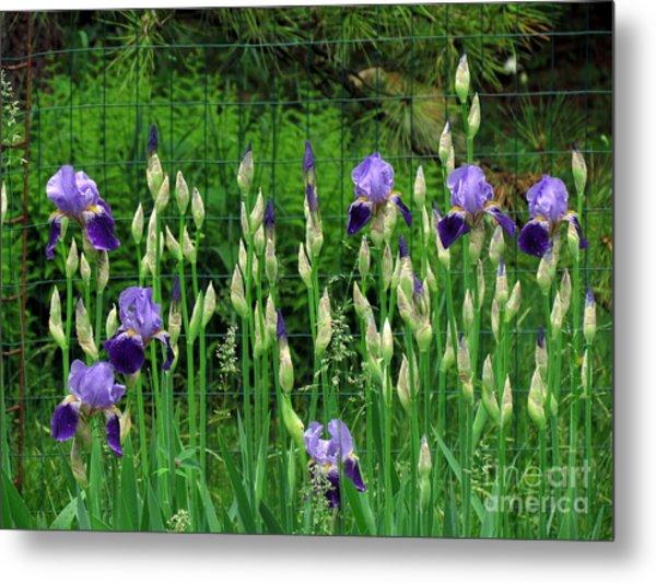 Irises Along The Fence Metal Print