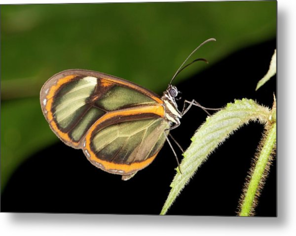 Ithomine Butterfly Metal Print