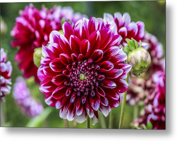 Its A Dahlia Dahling Metal Print by CarolLMiller Photography