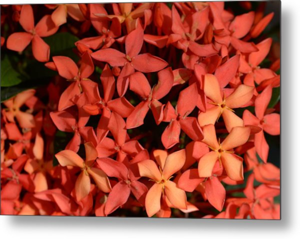 Ixora Red Metal Print