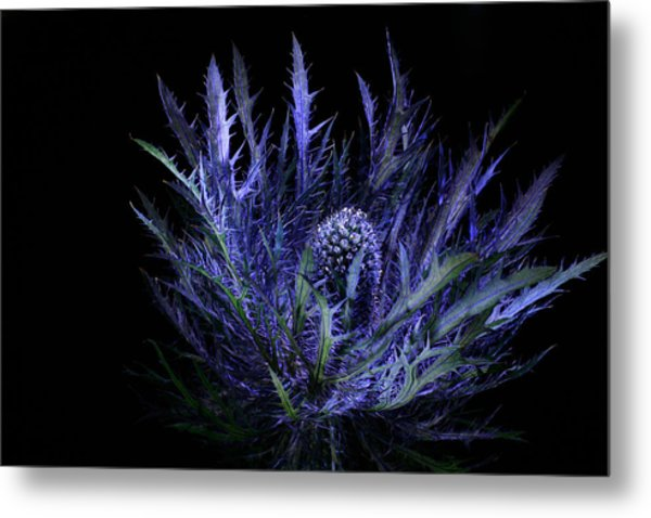 Jackpot Blue Thistle Metal Print