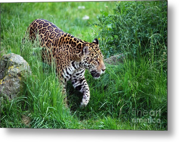 Jaguar On The Prowl Metal Print