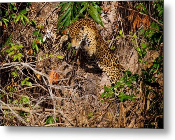 Jaguar Vs Caiman 2 Metal Print